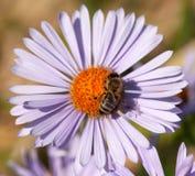 Abeja o abeja en los Apis latinos Mellifera en la flor Imágenes de archivo libres de regalías