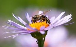 Abeja o abeja en los Apis latinos Mellifera en la flor Foto de archivo
