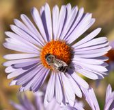 Abeja o abeja en los Apis latinos Mellifera en la flor Imagen de archivo