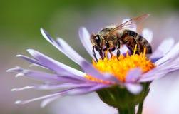 Abeja o abeja en los Apis latinos Mellifera en la flor Imagen de archivo libre de regalías