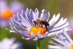 Abeja o abeja en los Apis latinos Mellifera en la flor Imagenes de archivo