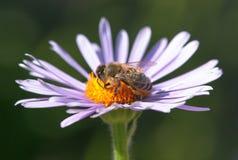 Abeja o abeja en los Apis latinos Mellifera en la flor Fotos de archivo libres de regalías