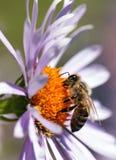 Abeja o abeja en los Apis latinos Mellifera en la flor Fotos de archivo