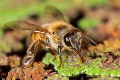 Abeja occidental de la miel del mellifera de los Apis Imagen de archivo