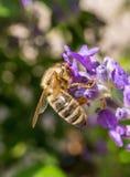 Abeja occidental de la miel en la lavanda Fotografía de archivo