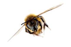 Abeja occidental de la miel en vuelo Foto de archivo