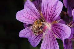 Abeja occidental de la miel (mellifera de los Apis) Fotografía de archivo libre de regalías
