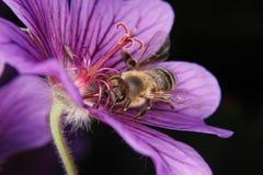 Abeja occidental de la miel (mellifera de los Apis) Imagen de archivo libre de regalías