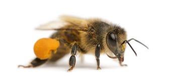 Abeja occidental de la miel o abeja europea de la miel, Apis Fotografía de archivo libre de regalías