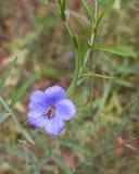 Abeja occidental de la miel que duerme en la flor azul del lino Foto de archivo libre de regalías
