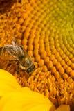 Abeja occidental de la miel que forrajea en el disco de un girasol Imagen de archivo libre de regalías