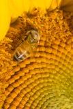 Abeja occidental de la miel que forrajea en el disco de un girasol Fotos de archivo