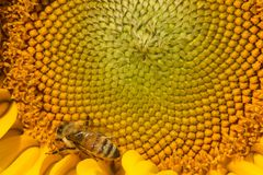 Abeja occidental de la miel que forrajea en el disco de un girasol Imágenes de archivo libres de regalías