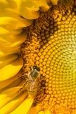 Abeja occidental de la miel que forrajea en el disco de un girasol Foto de archivo