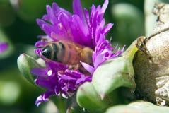 Abeja ocultada dentro de una flor Fotografía de archivo