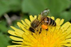 Abeja ocupada de la miel que poliniza una flor del diente de león Imagen de archivo