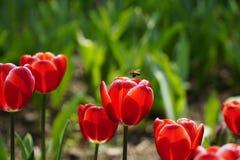 Abeja ocupada el la primavera Fotografía de archivo libre de regalías