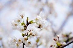 Abeja ocupada el la primavera Foto de archivo libre de regalías