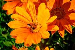 Abeja ocupada en el centro de la flor llena del auge Fotografía de archivo libre de regalías