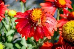 Abeja ocupada en el centro de la flor llena del auge Imagenes de archivo