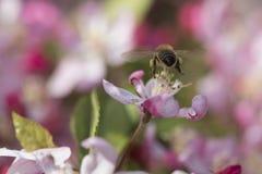 Abeja ocupada en el flor hermoso del crabapple Imagenes de archivo