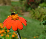 Abeja ocupada en la flor Foto de archivo