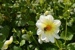 Abeja ocupada en la flor Foto de archivo libre de regalías