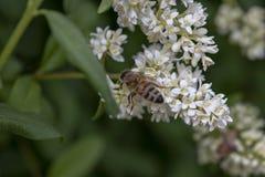 Abeja ocupada en la flor blanca Fotografía de archivo libre de regalías