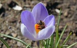 Abeja ocupada en la flor del azafrán de la primavera Fotos de archivo