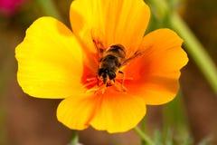 Abeja ocupada en una flor Fotografía de archivo