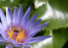 Abeja ocupada en una flor de loto Imagenes de archivo