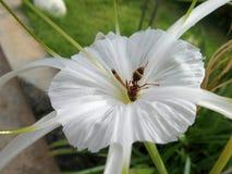 Abeja ocupada a mediados de la flor blanca Fotografía de archivo