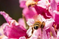 Abeja ocupada que recoge el néctar en primavera Imagen de archivo libre de regalías