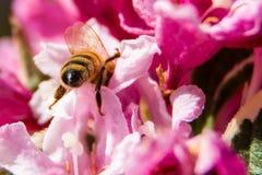 Abeja ocupada que recoge el néctar en primavera Fotografía de archivo libre de regalías