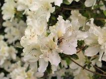 Abeja ocupada que trabaja en Azalea Flowers Fotografía de archivo
