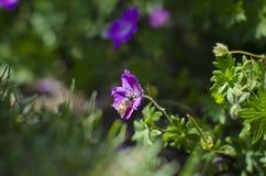 Abeja púrpura Fotos de archivo libres de regalías