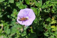 Abeja púrpura de la correhuela y de la miel Foto de archivo libre de regalías