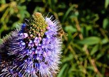 Abeja púrpura de la flor del trébol de la pradera Foto de archivo libre de regalías