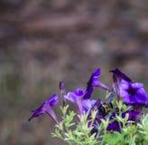 Abeja púrpura de la petunia en centro Fotografía de archivo