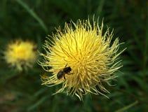 Abeja perdida en la flor mullida amarilla Fotografía de archivo libre de regalías
