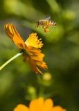 abeja Polen-cubierta que viene adentro para un aterrizaje Fotografía de archivo libre de regalías