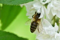Abeja polinating en la macro de la flor blanca Imagenes de archivo