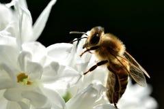 Abeja polinating en la macro de la flor blanca Foto de archivo libre de regalías