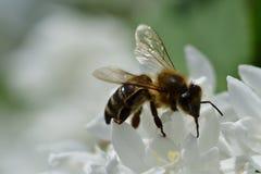 Abeja polinating en la macro de la flor blanca Imagen de archivo libre de regalías