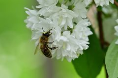 Abeja polinating en la macro de la flor blanca Imágenes de archivo libres de regalías