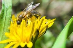 Abeja polinating en una flor amarilla en el jardín Fotografía de archivo libre de regalías