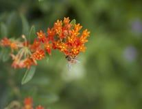Abeja Polinating una flor anaranjada Fotografía de archivo libre de regalías