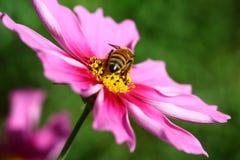 Abeja polinizada en la flor de color morado oscuro del cosmos Fotografía de archivo