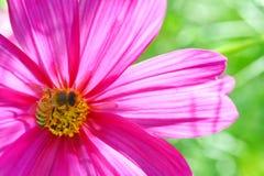 Abeja polinizada en la flor de color morado oscuro del cosmos Imágenes de archivo libres de regalías