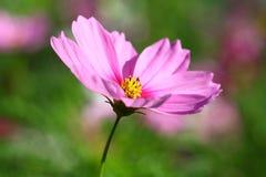 Abeja polinizada en la flor de color morado oscuro del cosmos Imagen de archivo libre de regalías
